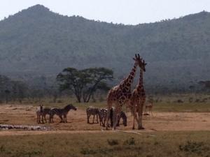 enasoit giraffe 2