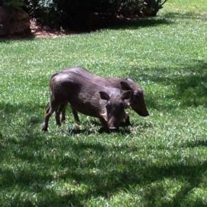 enasoit warthogs