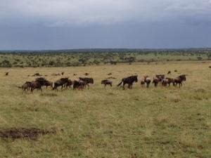 mahali buffalo