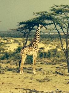 mahali giraffe