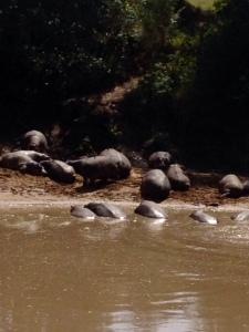 naibor hippos