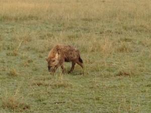naibor hyena