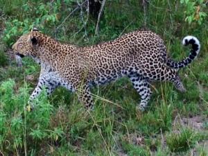 naibor leopard 2