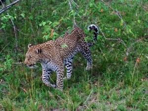 naibor leopard