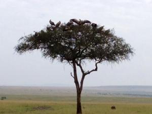 naibor vultures