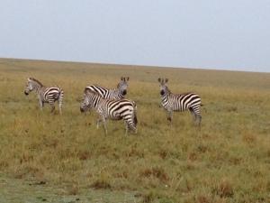 naibor zebra