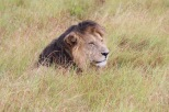 Naibor - black maned lion