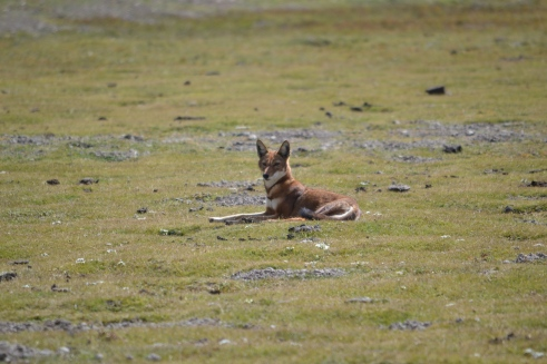 Lone Ethiopian female wolf.jpg